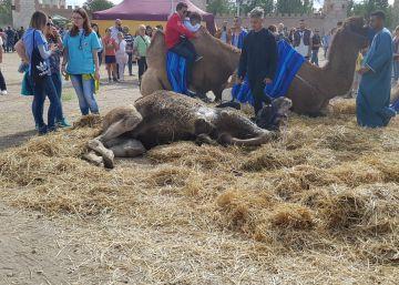 Muere un camello que participaba en el Mercado Cervantino de Alcalá