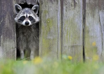 El mapache: listo, simpático y muy depredador