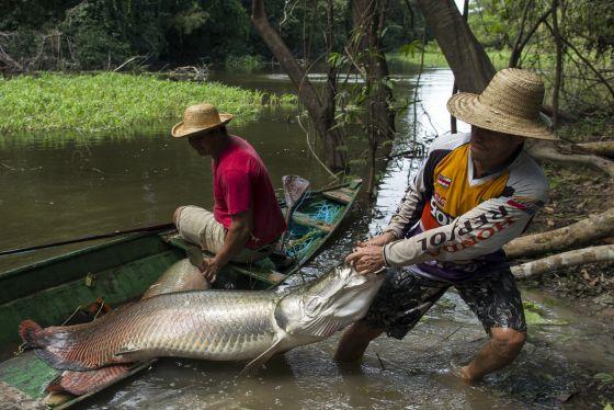 Pirarucu um gigante salvo pela alta cozinha cultura for Freshwater fishing in massachusetts