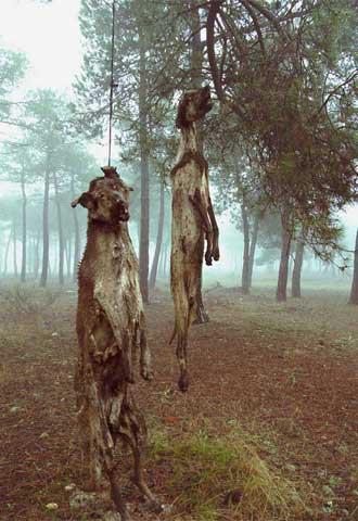 Cada año en España, decenas de miles de galgos son ahorcados, arrojados a pozos y cunetas como desechos de la caza.