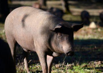 El ?big data? llega al cerdo ibérico