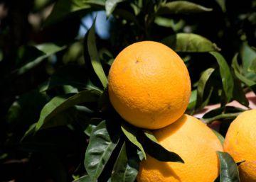 Las naranjas más 'verdes' de España