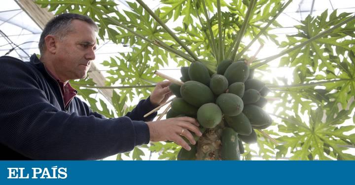 Pitaya Longan O Lúcuma También Son Frutas Españolas Economía El País