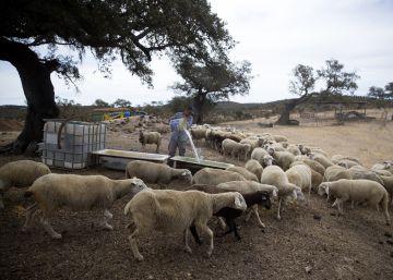 La sequía pone a dieta al ganado ecológico