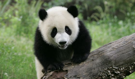 Pandas Lived In Spain Say Scientists In English El Pa 205 S