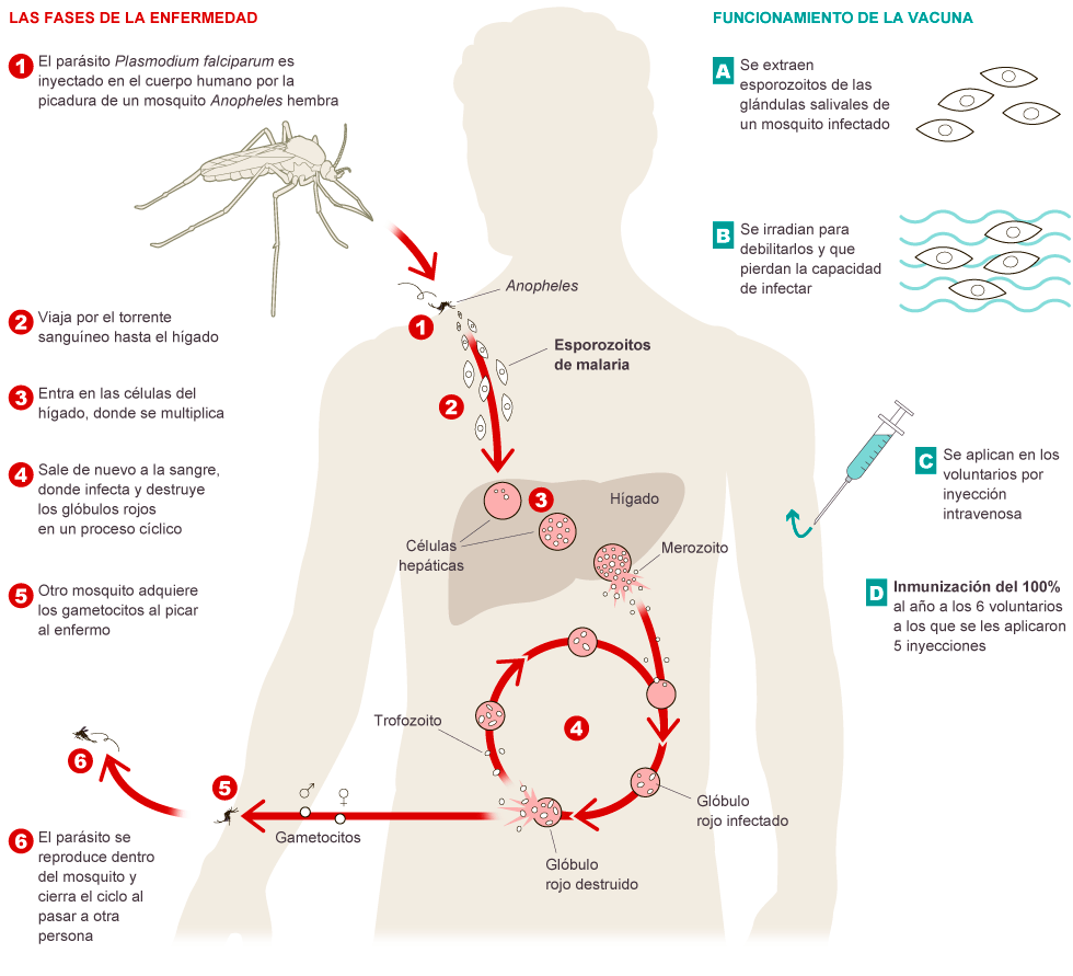 Claves de la vacuna contra la malaria   Actualidad   EL PAÍS
