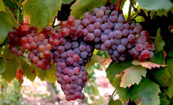 Resultado de imagen de gris variedad de uva
