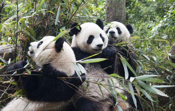 al oso panda se le indigesta el bamb ciencia el pa s. Black Bedroom Furniture Sets. Home Design Ideas