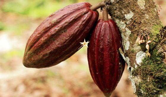 Las guerras del cacao | Planeta Futuro | EL PAÍS