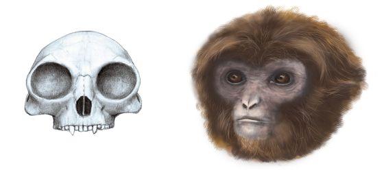La Historia Evolutiva De Simios Y Monos Se Reescribe En