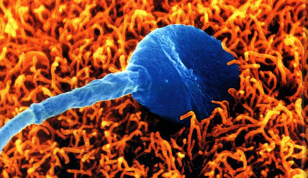 fecundacion del ovulo y espermatozoide