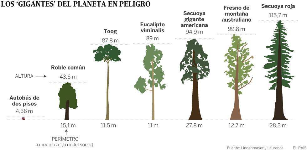 As maiores rvores do planeta est o desaparecendo for Cuanto miden los arboles