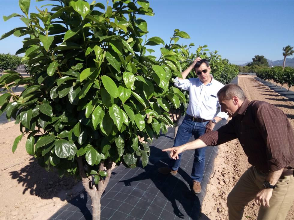 As ser n las naranjas del futuro ciencia el pa s for Arboles de hoja perenne en galicia