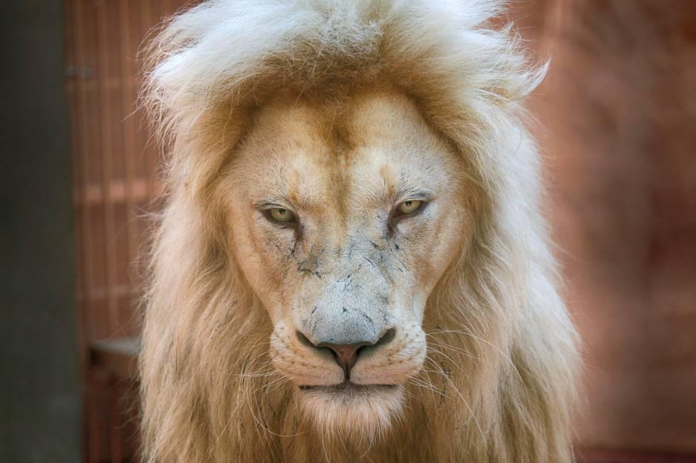 Peligro de extinci n el le n albino opini n el pa s - Esquelas leon los jardines ...