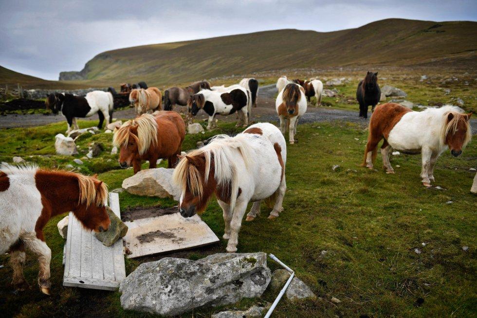 Ponies pastan libremente en la isla de Foula.