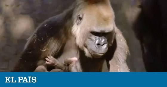 b6b75016d146 Vídeo  Nace un gorila de una especie en extinción en un zoo de EE UU ...
