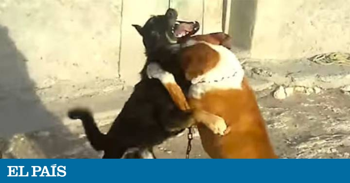Animal rights: Is Mexico about to ban dog fighting for good
