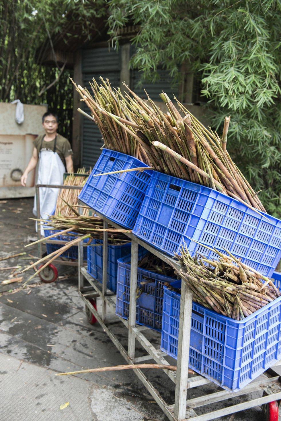 Fotos panda el oso panda un paso m s alejado de la - Reproduccion del bambu ...