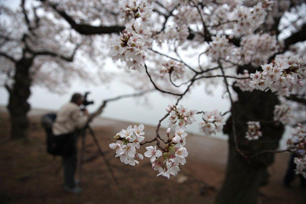 Fotos La Floración De Los Cerezos Alrededor Del Mundo Actualidad