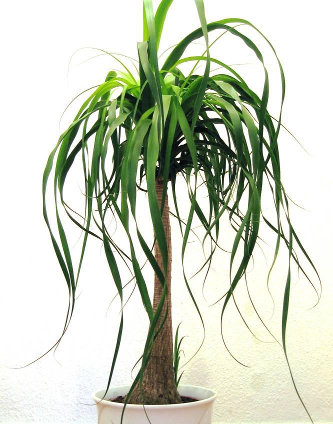 pata de elefante pata de elefante tambin conocida como beucarnea planta atpica cuyo nombre proviene lo has adivinado de la forma de su tronco
