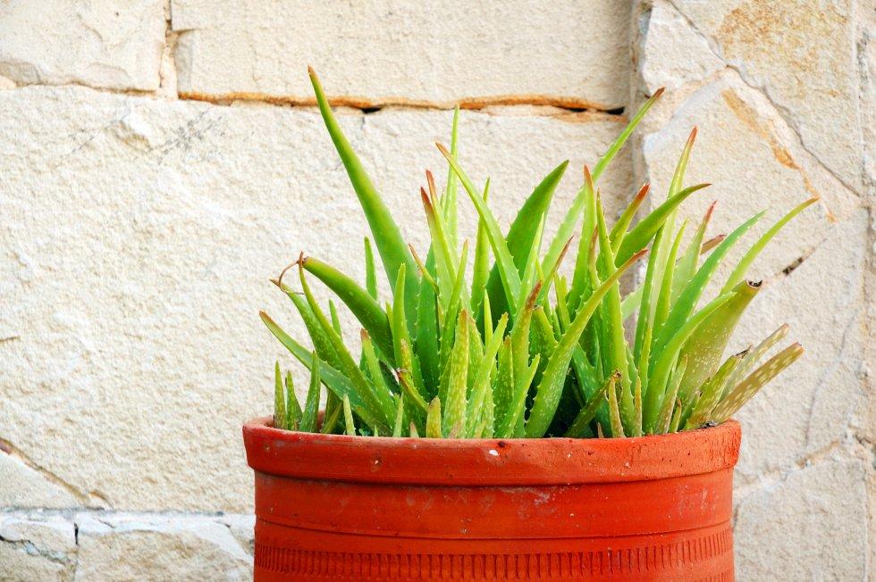 """Se sienten a gusto entre hermanos. La genética vegetal es similar a la de los animales. La petunia tiene madre, padre, hermanos y su propia prole. Una genealogía aplicable a las plantas que los botánicos conocen bien: """"Designamos a menudo como madre o hija a las plantas a la hora de referirnos a ellas"""", apunta Pablo Vargas, del Real Jardín Botánico de Madrid. Las especies vegetales buscan la compañía de sus parientes para encontrar seguridad y protección. """"Las plantas hablan entre ellas, reconocen a sus familiares y dan pruebas de tener caracteres distintos. Al igual que en el reino animal, en el vegetal, existen plantas oportunistas, generosas, honestas y falaces, que recompensan a quienes les ayudan y castigan a quienes tratan de lastimarlas"""", asegura Stefano Mancuso en su libro  Sensibilidad e inteligencia en el mundo vegetal ."""