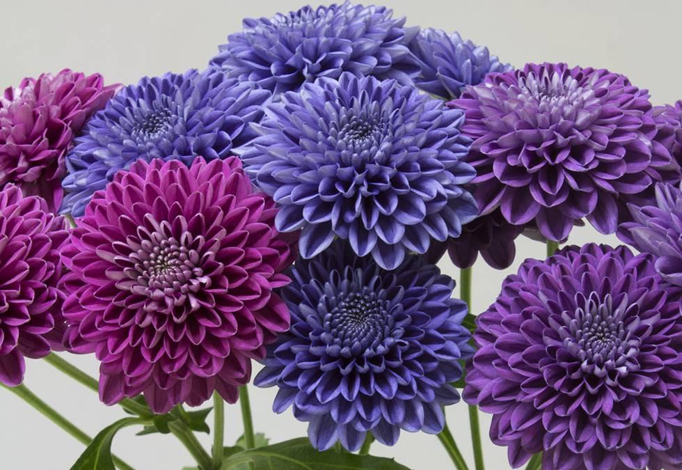Crisantemos azules gracias a la ingeniería genética