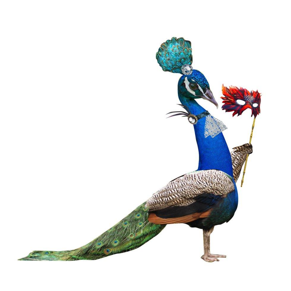 """'Aviario' es un libro que compara los comportamientos en las redes sociales de los humanos con las aves. Editado por Catarata, tiene como autores a Mario Tascón, que ha escrito unos breves textos que acompañan los dibujos de los pájaros de su hermano Javier Tascón. En la imagen, el pavo real, un ejemplar que en las redes """"muestra sus mejores galas y exhibe sus poderes"""", se lee en 'Aviario'."""