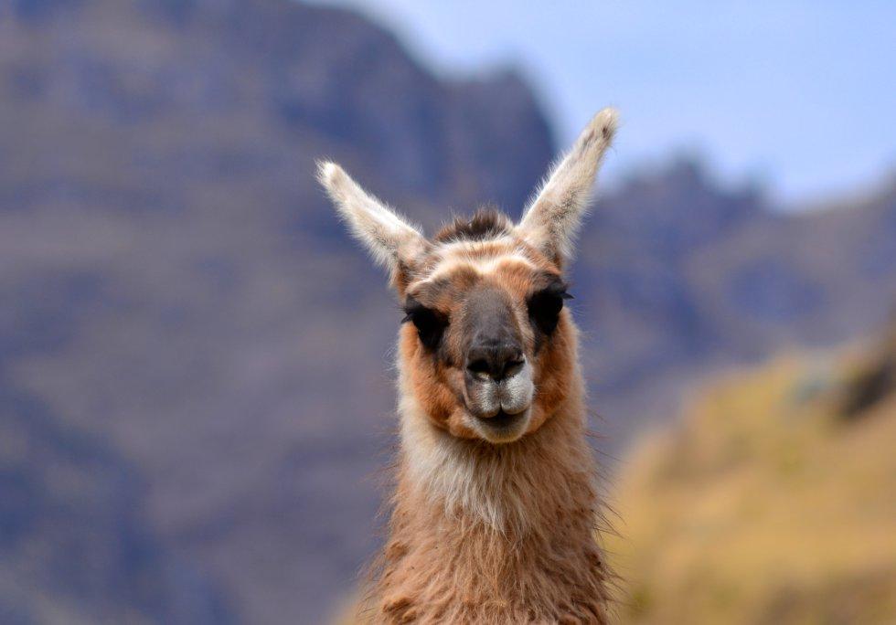 Por el camino es frecuente encontrar llamas y alpacas, los animales más característicos de los Andes.rn