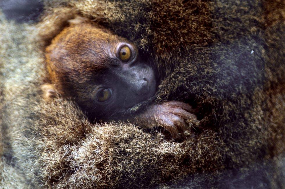 Lemur cariancho / El País