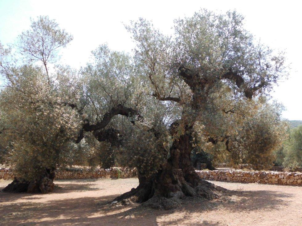 Hace unos años, la Farga de Arión, un olivo que se alza en Ulldecona (Tarragona), se convirtió en el árbol más longevo de España: un equipo de la Universidad Autónoma de Madrid dató su edad en 1.701 años, cifra obtenida tras el estudio del perímetro del tronco mediante telemetría láser. El segundo árbol fechado en antigüedad de la Península es el Tejo de Barondillo, en la madrileña Sierra de Guadarrama, que atesora unos 1.700 años de vida y que es además el ser vivo más viejo de la Comunidad de Madrid.