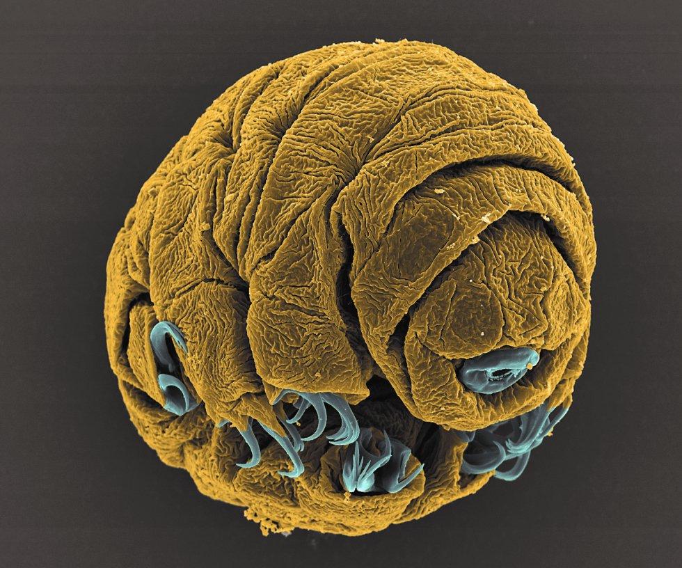 Los tardígrados, llamados comúnmente osos de agua, son pequeños animales invertebrados capaces de sobrevivir a condiciones ambientales extremas. Esta imagen tomada con un microscopio, que muestra un embrión de 50 horas de vida de la especie 'Hypsibius dujardini', fue finalista en la categoría Microimagen.