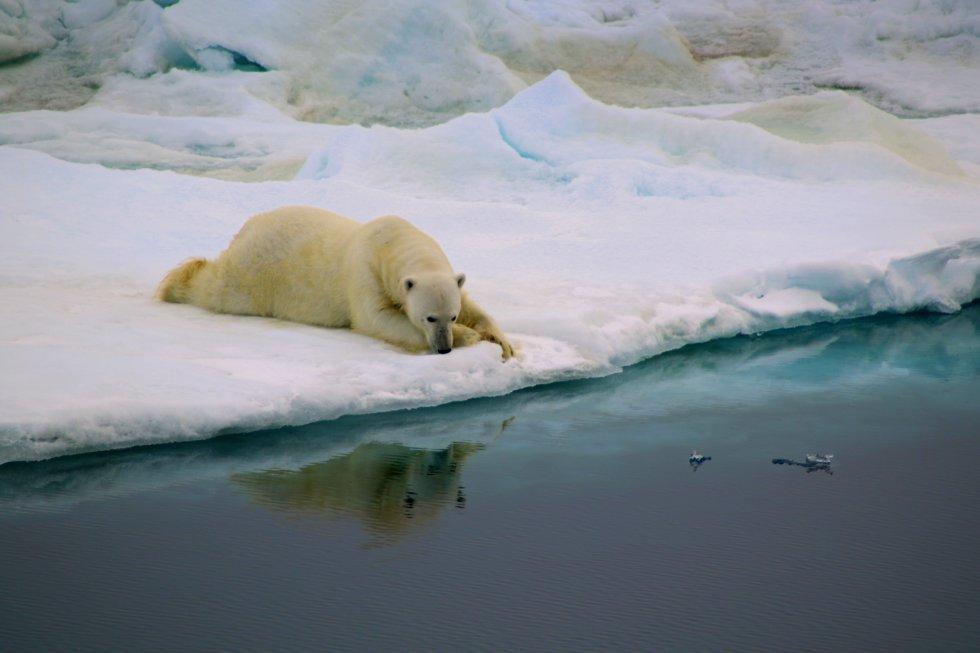 """Antonia Doncila tomó esta foto mientras cruzaba el estrecho de Fram, que comunica el océano Ártico y el mar de Groenlandia. """"En el viaje vimos osos polares nadando en un océano sin hielo en el que descansar sus pesados cuerpos"""", explica. En esta fotografía, ganadora en la categoría Comportamiento, un ejemplar encuentra una porción de hielo y la convierte en su hogar."""