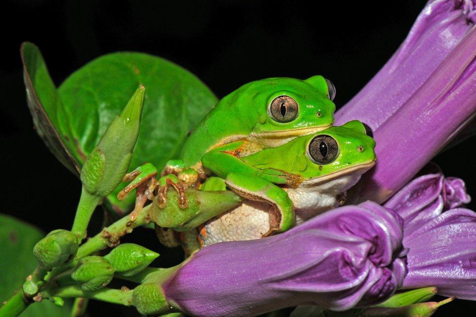 La rana arborícola 'Phyllomedusa nordestina' vive en el desierto semiárido brasileño y para protegerse de la desecación permanece escondida al menos ocho meses al año. Esta foto, en la que se ven dos ejemplares, ha recibido una mención honorífica en la categoría Ecología y ciencias ambientales.