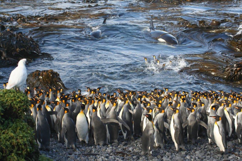 Dos ballenas entran en una pequeña bahía de la isla Marión, en el océano Índico. Esto toma por sorpresa a un pequeño grupo de pingüinos rey que estaban acicalándose en el agua. Esta fotografía ha resultado ganadora en la categoría Ecología y ciencias ambientales.