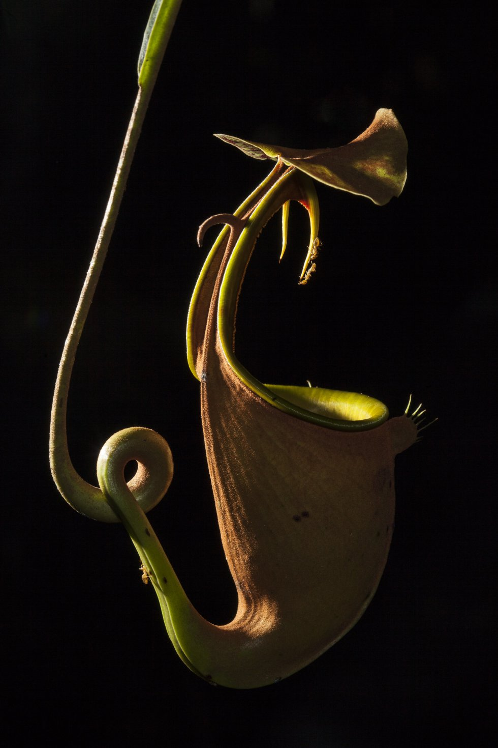 Las plantas carnívoras obtienen sus nutrientes de los insectos que atrapan y digieren. Esta especie, la 'Nepenthes bicalcarata', segrega un néctar dulce y tiene estructuras parecidas a colmillos que son muy resbaladizas para la mayoría de los insectos. Sin embargo, hay una hormiga específica, la 'Camponotus schmitzii', que recorre sin ninguna dificultad los colmillos para robar un poco de néctar, tal y como se muestra en la fotografía. La imagen fue finalista en la categoría Ecología y ciencias ambientales.