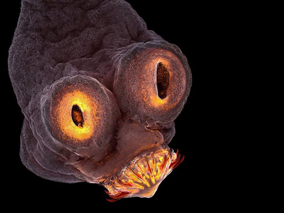La imagen del parásito de la especie 'Taenia solium' fue una de las finalistas del concurso fotográfico 'Nikon Small World'.