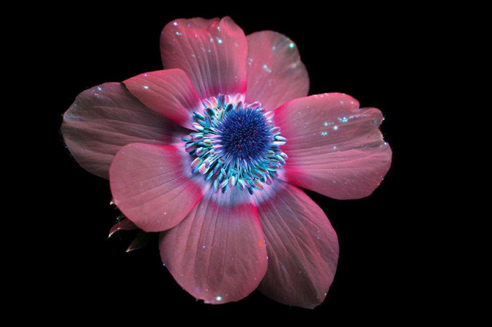 Esta imagen de luz ultravioleta del fotógrafo estadounidense Craig Burrows muestra las tonalidades de una flor de anémona.