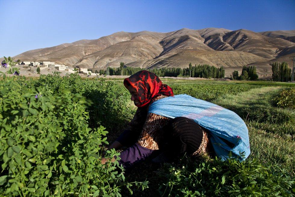Una anciana recoge hierba para el ganado en el valle de Asif Melloul. Las mujeres son las encargadas de parte de las tareas agrícolas y del cuidado de los animales.rnrn