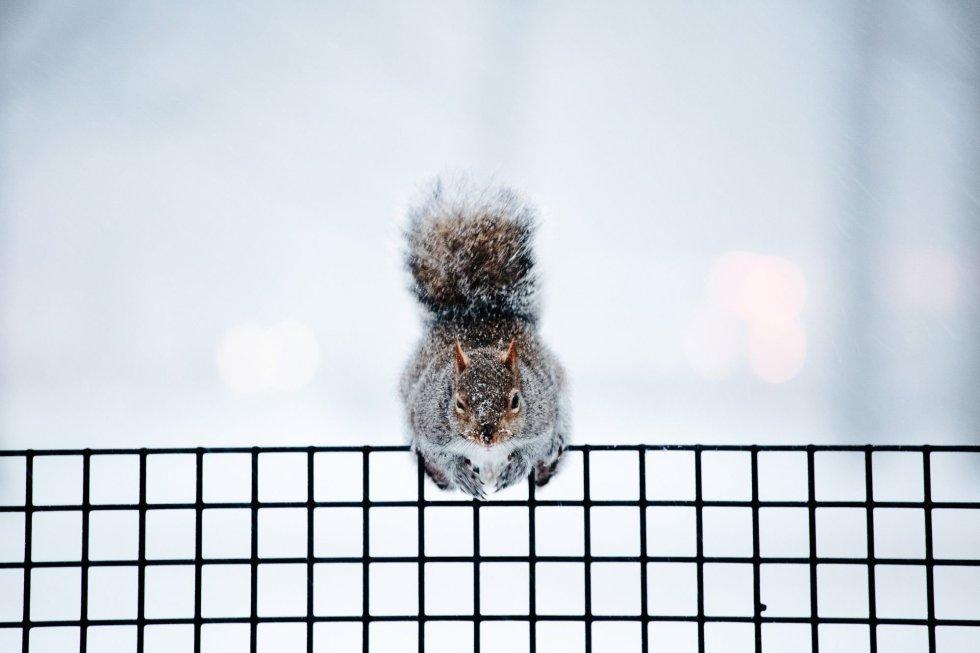 Um esquilo em uma cerca do Battery Park, em Nova York (EUA). A última semana de 2017 foi a mais fria registrada na história de Nova York, cuja temperatura não sobe acima do zero grau centígrado desde 25 de dezembro.