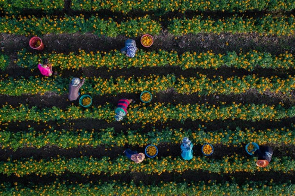 Jardineros recogen flores en Sukhothai (Thailand).