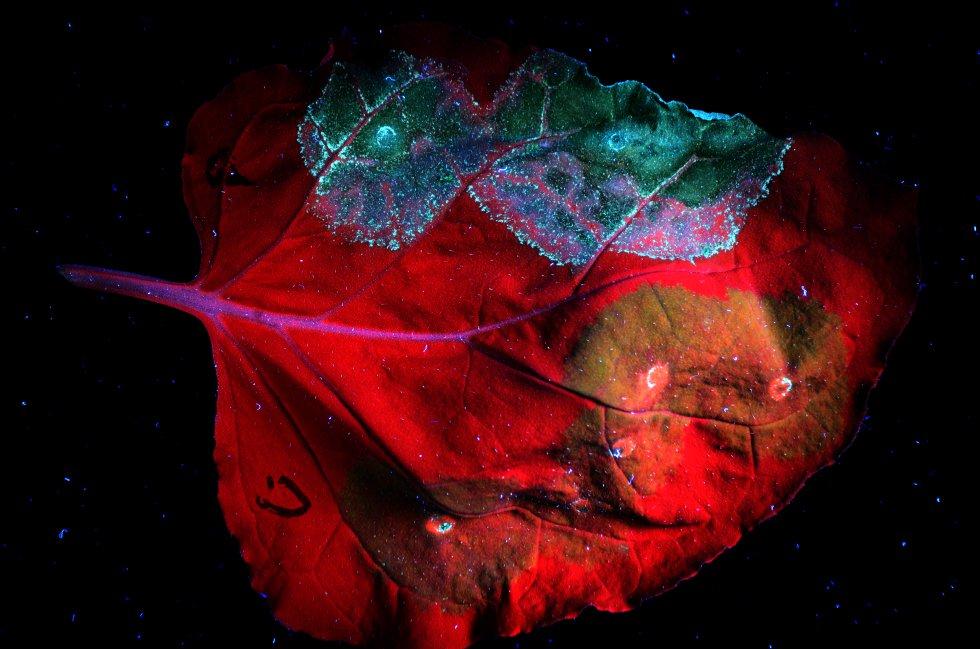 Durante la vida de los organismos, hay momentos en los que algunas células deben morir para asegurar la supervivencia del individuo. En esta fotografía se muestra la senescencia de las células de una hoja de tabaco. La luz ultravioleta hace que la clorofila se vea de color rojo. En las zonas donde la hoja presenta células senescentes, la clorofila se degrada y el rojo se transforma en verde azulado. Las áreas más dañadas adquieren una autofluorescencia de color azul intenso. Esta imagen ha resultado ganadora de la modalidad general, remunerada con 1.500 euros.