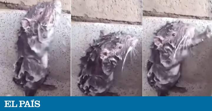 85b6566b5bba Shower Rat: Ni es una rata ni se está bañando | Blog Hechos | EL PAÍS