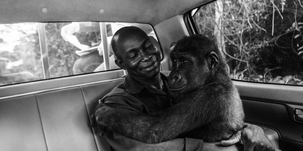 El bebé gorila 'Pikin', había sido capturado con la idea de ser vendido como carne de caza, pero fue rescatado por la organización Ape Action Africa. La fotografía, que captura el momento de su liberación, es la ganadora del Wildlife Photographer of the Year People's Choice, una categoría del concurso organizado por el Museo de Historia Natural de Londres sometida a votación del público.