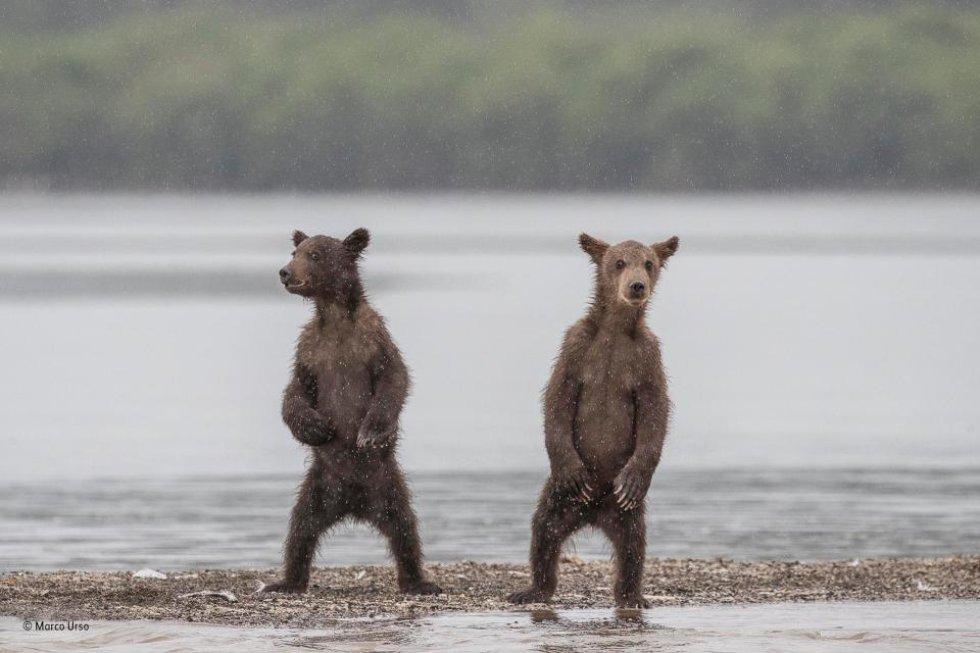 El fotógrafo Marco Urso captó esta imagen de dos crías de osos pardos en el lago Kuril, en Rusia. Cada año millones de salmones van al lago de desovar.