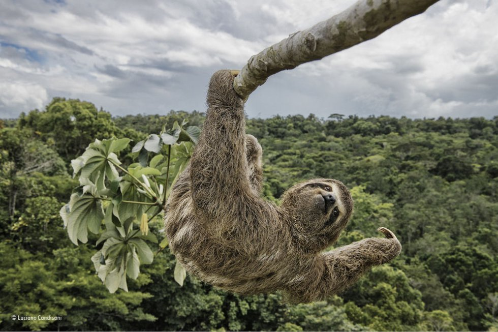El fotógrafo Luciano Candisani tuvo que escalar un árbol para fotografiar a este perezoso que se alimentaba de hojas.