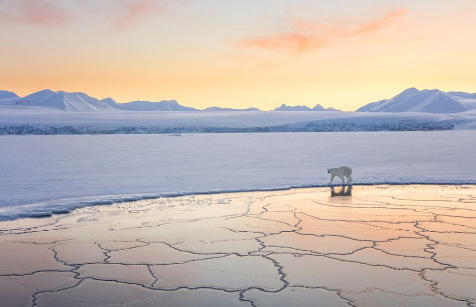 El fotógrafo Josh Anon, de Estados Unidos, fue en barco a un fiordo frente a Longyearbyen, Svalbard, Noruega, cuando fotografió a este oso polar caminando por el borde del hielo.