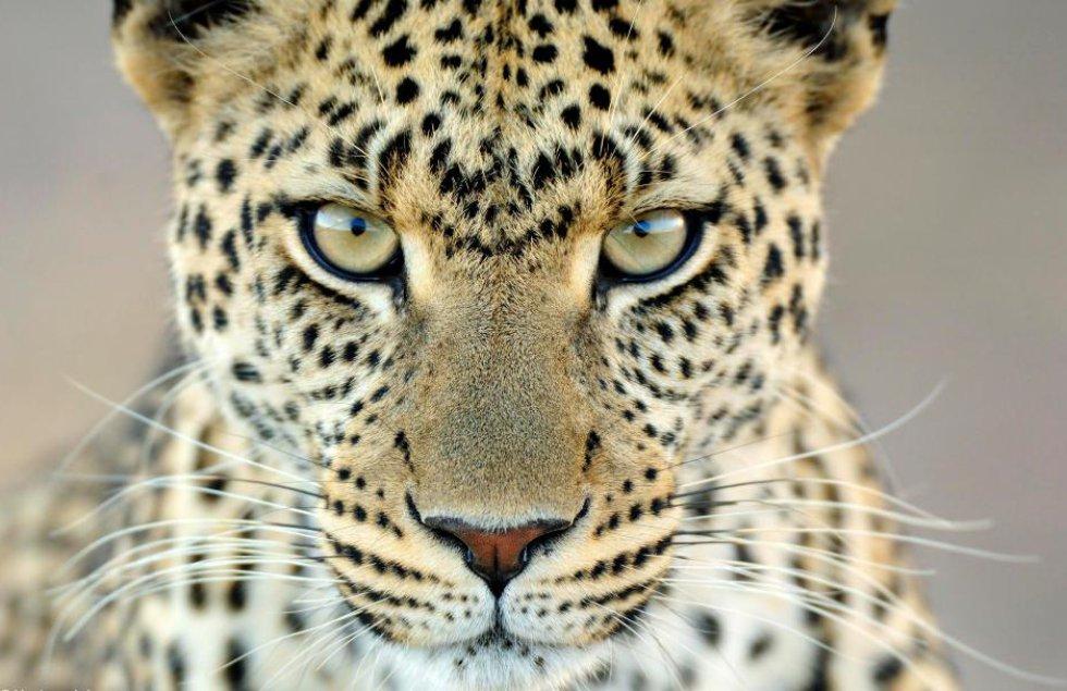 El fotógrafo holandés Martin Van Lokven estuvo durante tres semanas en el Parque Nacional del Serengueti, Tanzania, y captó este maravilloso primer plano de un leopardo.