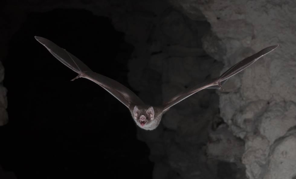 Este vampiro usa centenares de patógenos para poder chupar la sangre