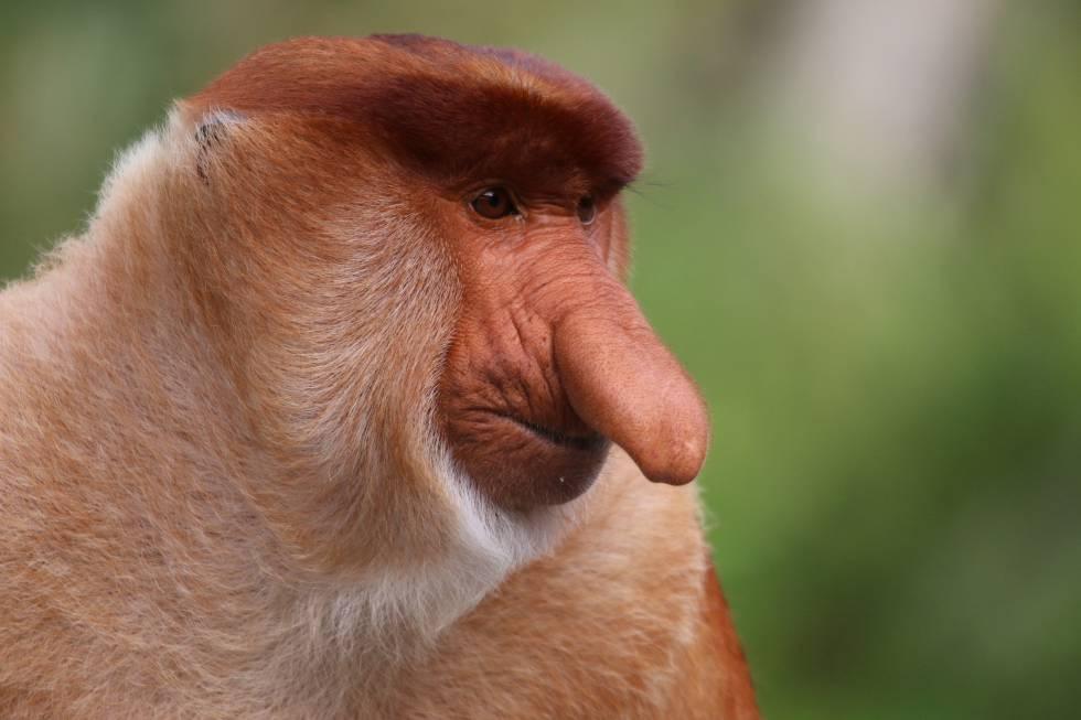 El mono que desarrolla una nariz enorme para tener más sexo y garantizar la paz