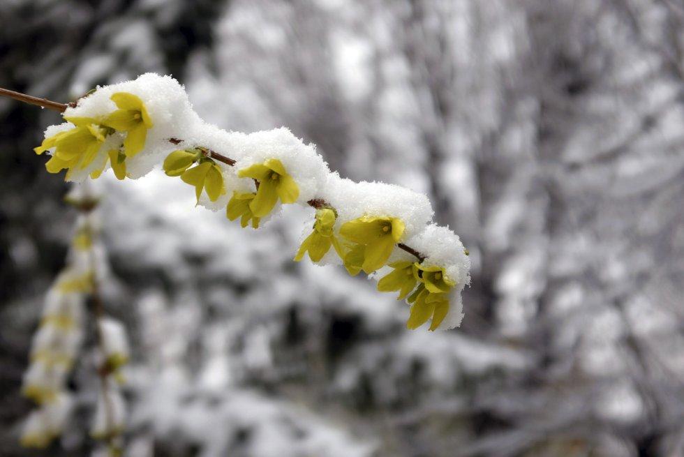 Flores cubiertas de nieve en Belgrado (Serbia).